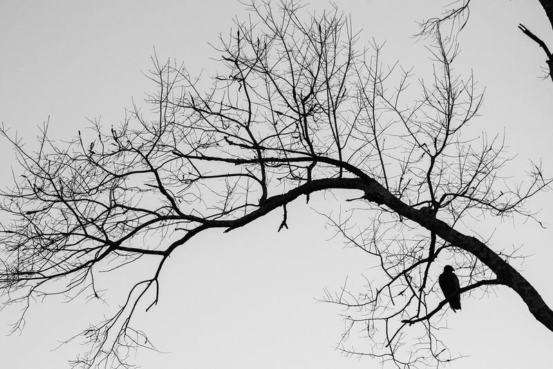 Vulture Skunk-28