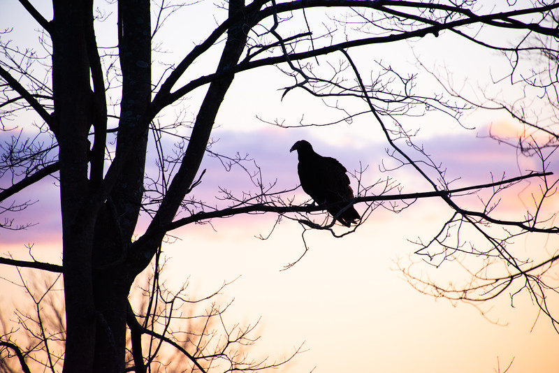 Vulture Skunk-49