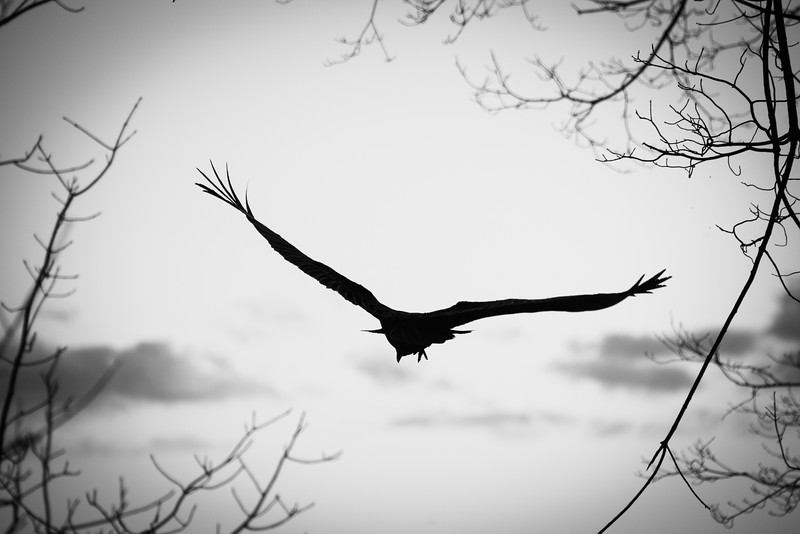 Vulture Skunk-59