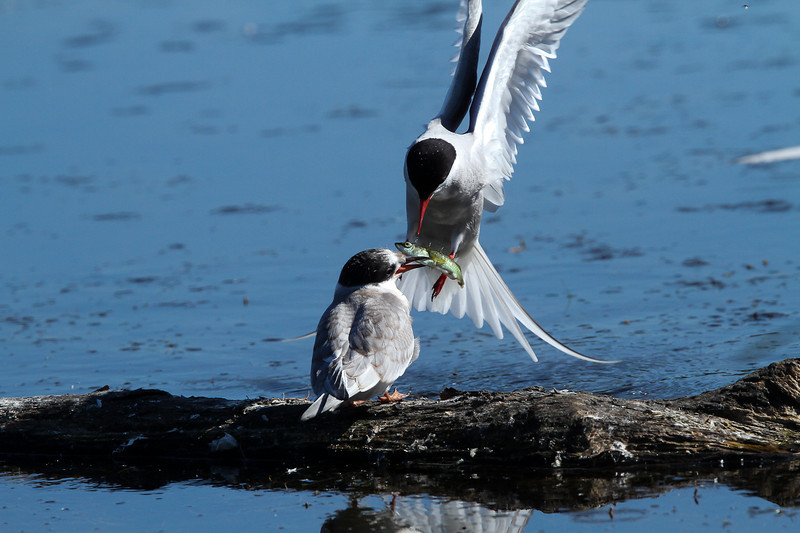 """Fast Food"" arctic Terns"