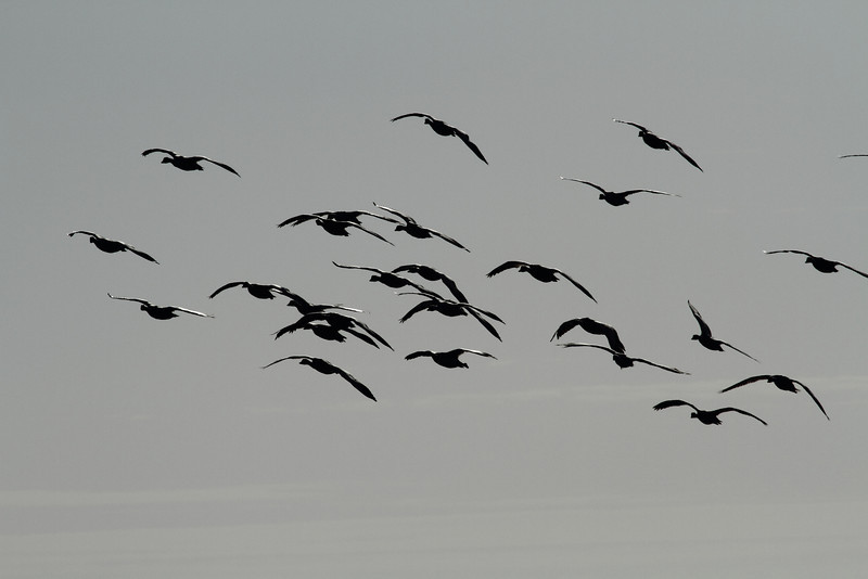 Snow geese setting up