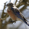 The juvenile Western Bluebird has the eye ring... quite distinctive.  It's molting into adult plumage and from the feather colors appears to be a male.