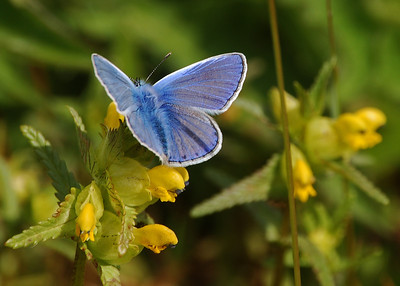 Not an orchid, just a beautiful Common Blue butterfly that happened to land nearby.