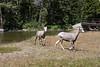 Big Horn Ewes 0372