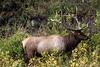 Elk-9388