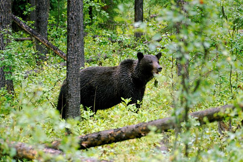 Northfork Bear-108