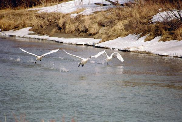 Swans-111
