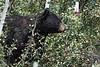 Black Bear 5119