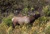 Elk-9386