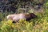 Elk-9383