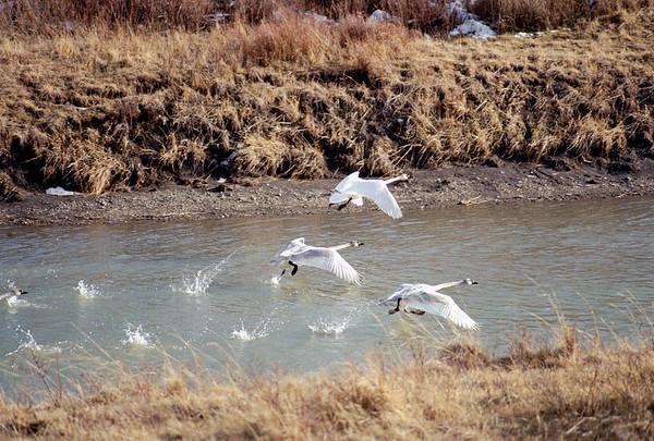 Swans-112