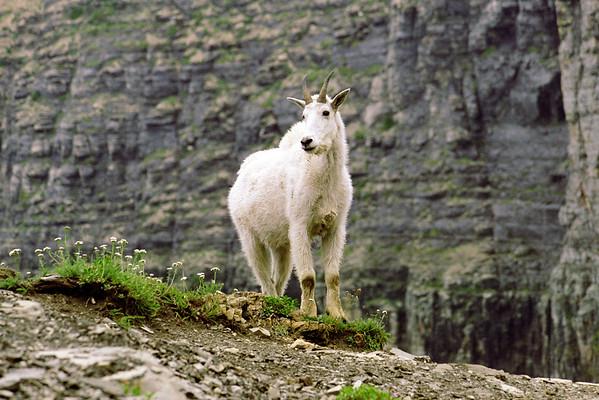 Goat-103