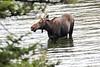 Moose 1276