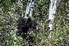 Black Bear 5117