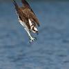 Osprey focused on its target