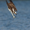 Osprey focused on its target