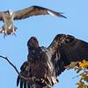 Osprey vs Bald Eagle
