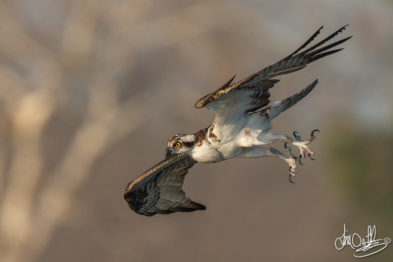 Osprey getting ready to dive