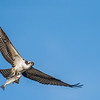 Osprey with a fresh trout catch