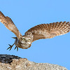 Burrowing Owl in flight Riverside County, CA