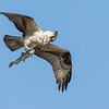 Osprey shaking off after catching a trout