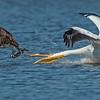 Pelican versus Osprey