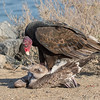 A Turkey Vulture scavenging a gull Bolsa Chica Wetlands • Huntington Beach, CA