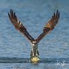 Osprey with a nice size bluegill