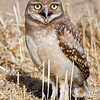 Burrowing Owl fledge