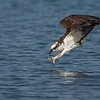 Osprey diving Osprey's can hit dive speeds up to 80 mph.