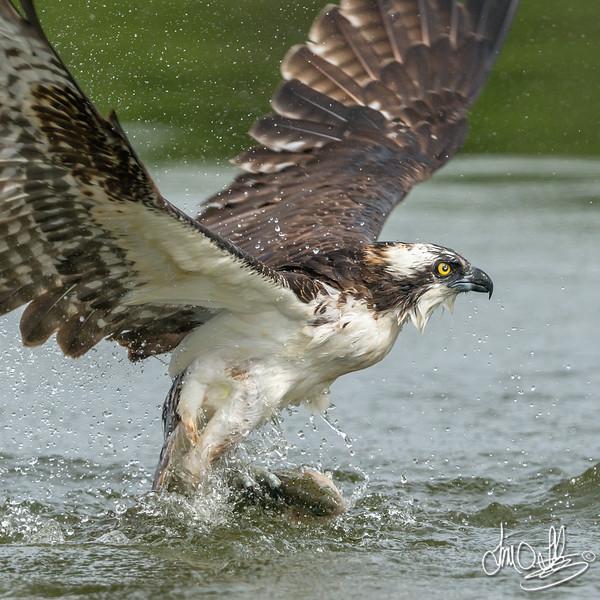 Osprey extreme close-up