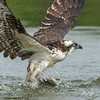 Osprey extreme close-up