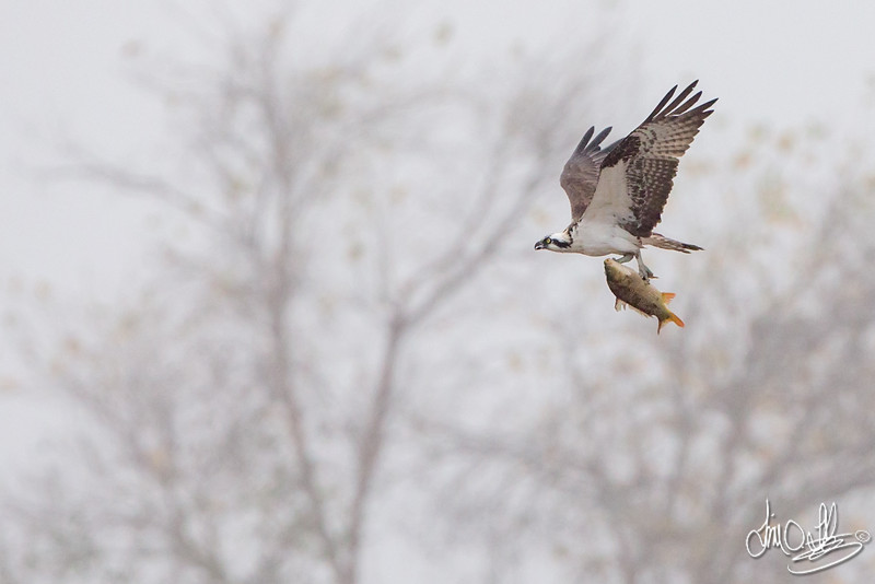 Osprey with a carp