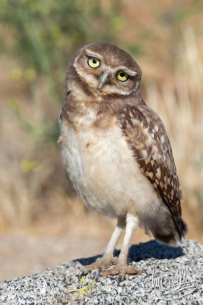 Burrowing Owl fledge