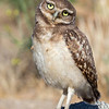 Burrowing Owl fledge Riverside County, CA