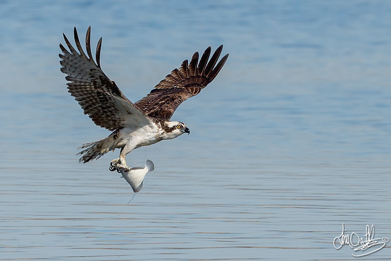 Osprey with a halibut catch