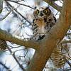 Great Horned Owl fledge
