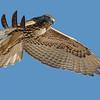 Red-tailed Hawk<br /> Bolsa Chica Wetlands • Huntington Beach, CA