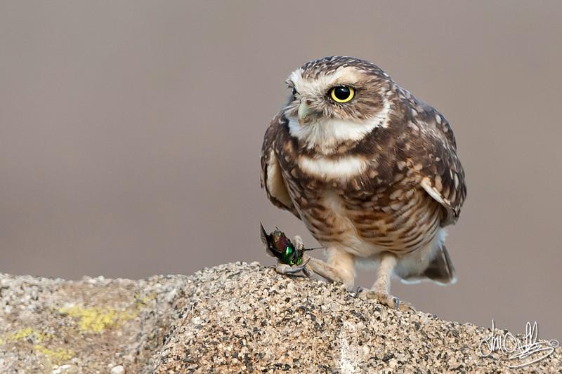 Burrowing Owl with beetle