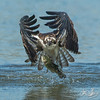Osprey catching a trout, notice the protective nictitating membrane over its eyes.