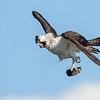 Osprey shake