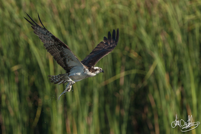 Osprey with a freshly cut