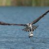 Osprey with a fresh catch