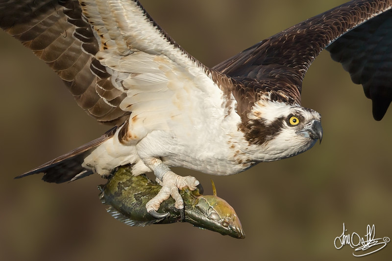 Osprey with a close-up of its catch