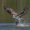 Osprey with a freshly caught trout
