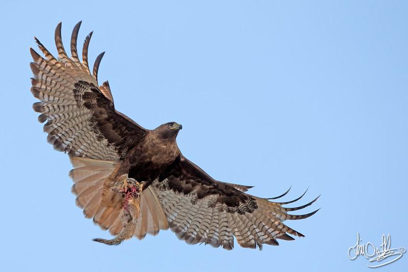 Red-tailed Hawk (Dark Morph)