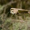 Burrowing Owl inflight