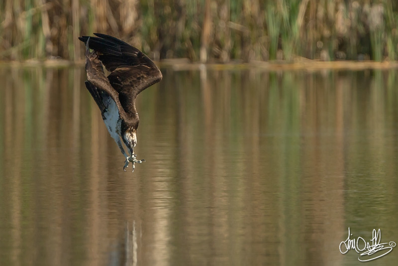 Osprey going in for the kill