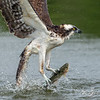 Close up of an Osprey catching a trout