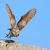 Burrowing Owl take off Riverside County, CA